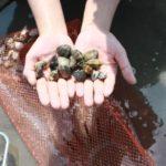 潮干狩り 貝