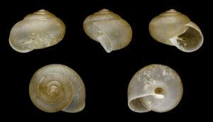 大人のカタツムリの殻