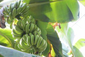 バナナの収獲時